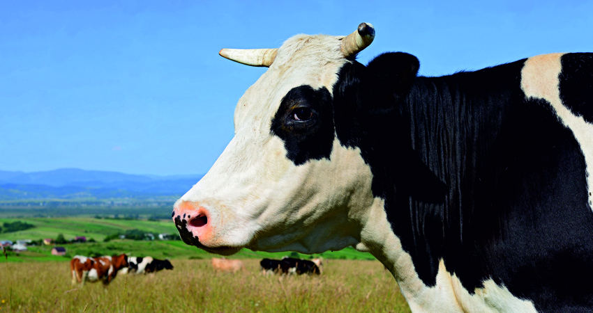 Agricultural_cow