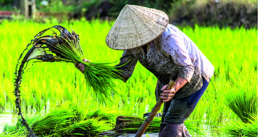 VietnamCambodia_rice_lady